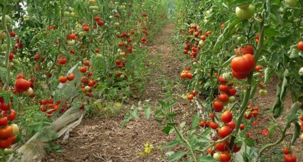 Agriculture tomates pour seniors